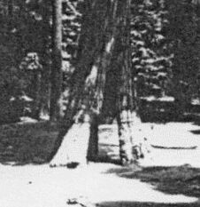 Bild B: Wawona Tunnel Tree, Yosemite Park, Ca.